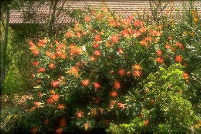 Grevillea 'Masons Hybrid' • Australian Native Plants Nursery • Plants • 800.701.6517