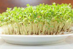 Gartenkresse anpflanzen – So wird's gemacht