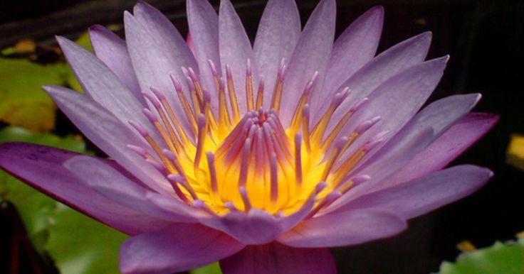¿Cuál es el significado de una flor de loto morada?