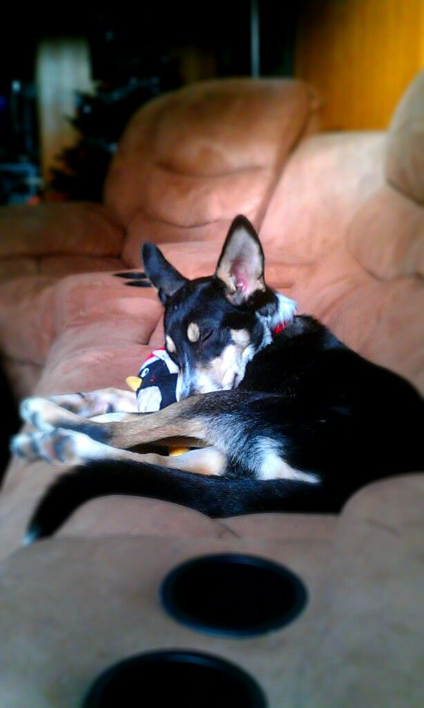 Pictures of Australian Kelpie Dog Breed