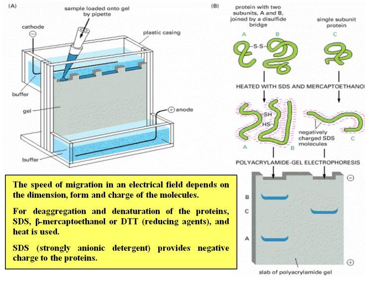 polyacrylamide gel electrophoresis | Chemistry | Biology ...