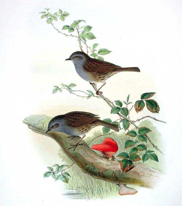Accenteur mouchet - Prunella modularis