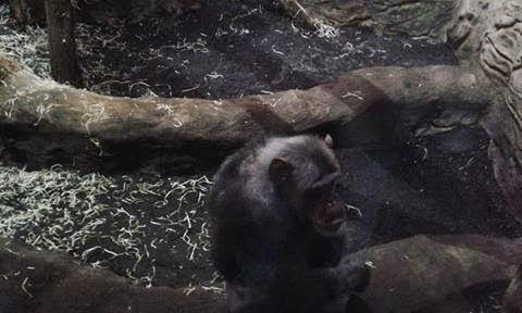 Szympansiątko. #szympans, #Pan