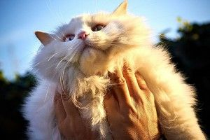 Pelo de gato: Mitos y verdades | Like Pets