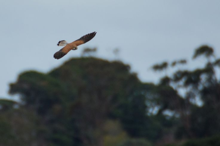 https://flic.kr/p/HfNr68 | Nankeen Kestrel looking for lunch | These birds often hover over waterways looking for frogs and other small things to swoop upon.