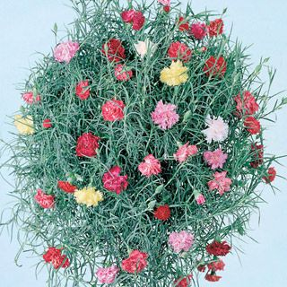 'Clove Drops' Carnation (Dianthus caryophyllus 'Clove Drops') is a trailing plant with silver-green foliage and multi-colored flowers. Grows well in containers in full sun, and has the spicy scent of clove.