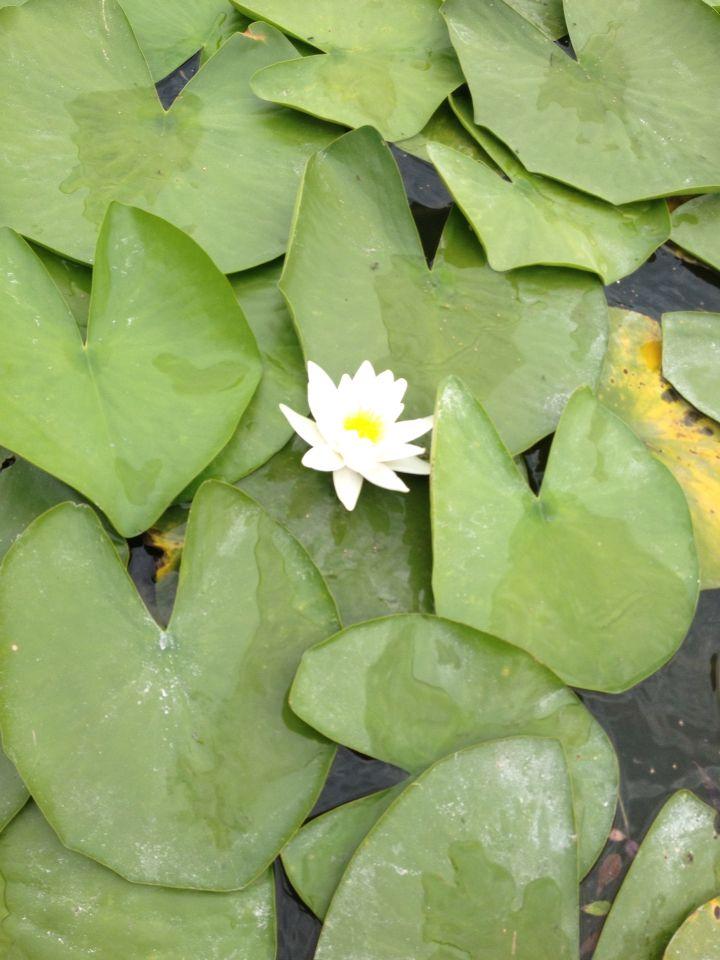Purity. Water lily. Neptun - Romania