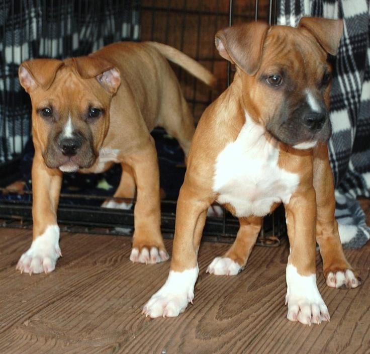 Amstaff Puppies So So Cute Dog S Pinterest Puppys