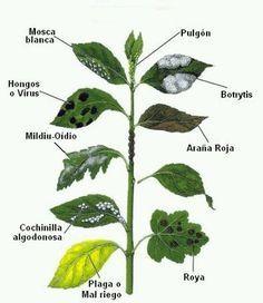 El Huerto en Macetas: Como detectar plagas en tomateras