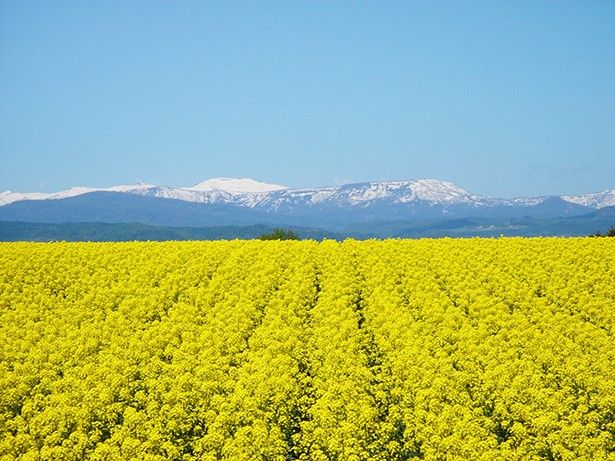 field of canola flower - Takikawa