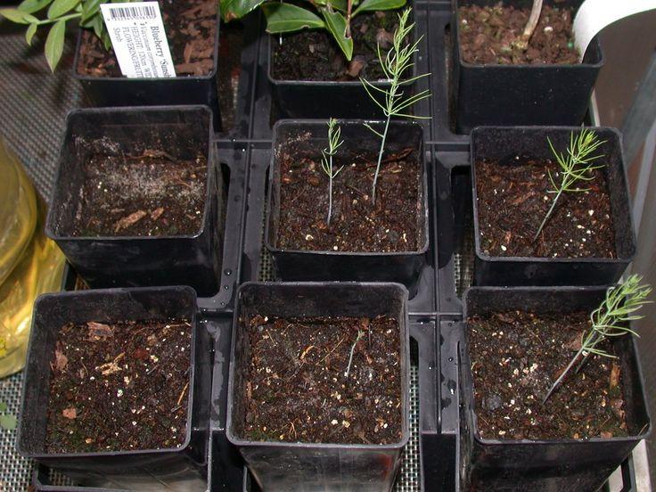 10 Best Images About Asparagus Sp Plant On Pinterest 400 x 300