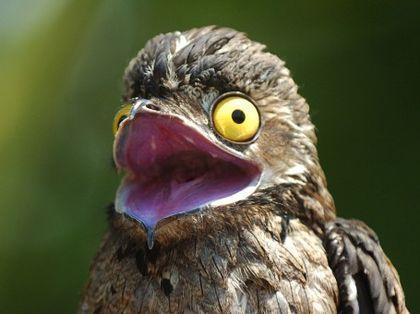 En Los montes mas grandes de sudamericana habita un ave extraña especial a la vez, se trata de un genero extraño de ave nocturna poco común de ver en esta tierra, pero muy curiosa. Vamos a ver que esconde en este post que titularemos: Conozcan al...