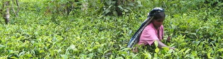 SOFA, Sri Lanka.  SOFA was born from a vision of Bio Foods founder, Dr Sarath Ranaweera, an organic agriculture and tea specialist. Bio Foods processes and exports the agricultural products that SOFA farmers produce, but had to work to gain the trust of the farmers by initially guaranteeing to purchase the entire green tea leaf crop.