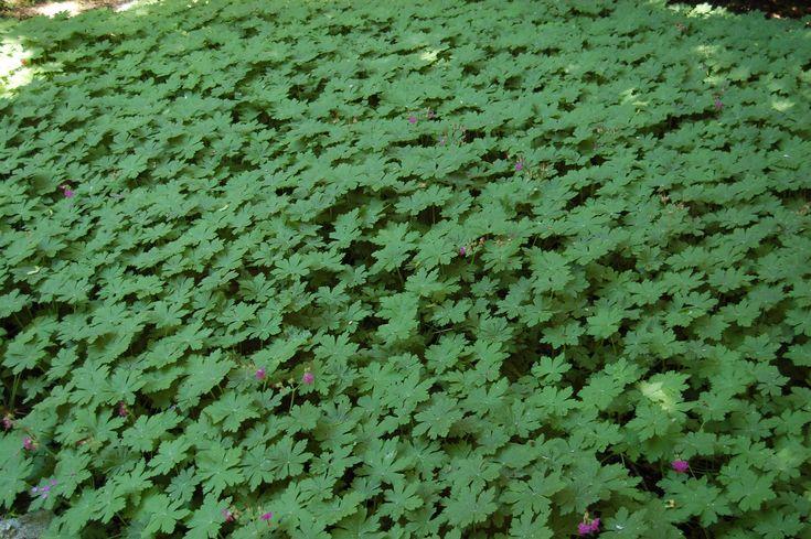 Geranium macrorrhizum 'Ingwersen's Variety' in late spring