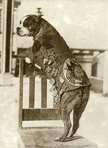 Sgt. Stubby fought in 17 battles in WWI. He was in the trenches in France for 18 months, survived being gassed and went on to warn his unit of incoming gas attacks and artillery shelling; he located wounded soldiers, and helped capture a German spy. After the war, he was the Gorgetown Hoya's mascot.
