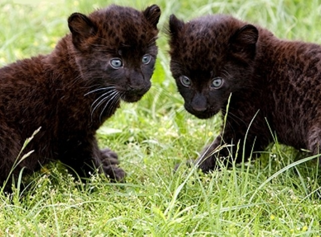 Baby black panther | Animals | Pinterest | Babies ... - photo#17
