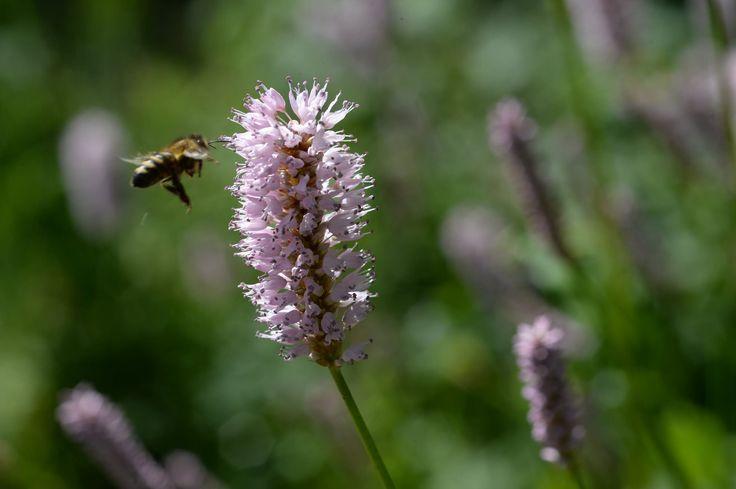 Nicht nur die Bienen wissen den Schlangen-Knöterich zu schätzen. Seine Blüten und Früchte sind essbar und seine Wurzel kannst du für die Gesundheit nutzen.