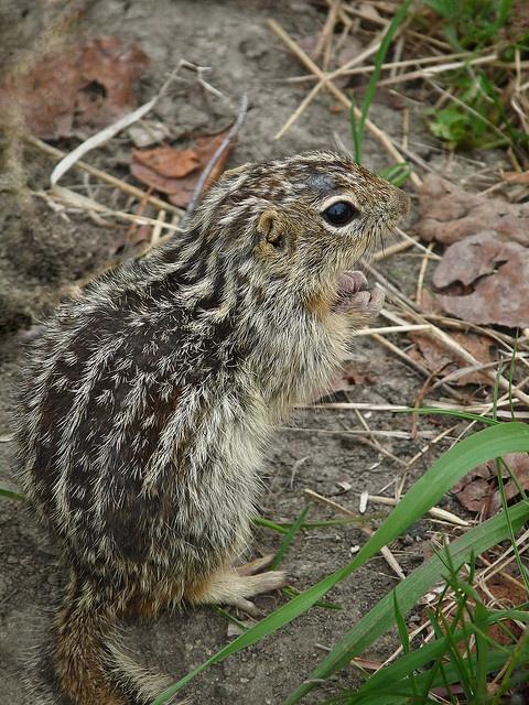 Thirteen-lined Ground Squirrel: Squirrels Animal