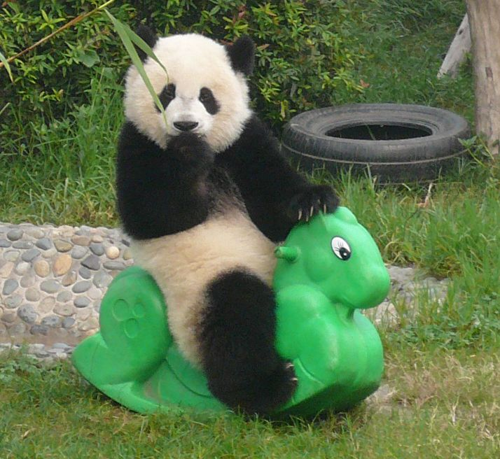 panda pictures | Anyway, two epicly cute pandas to make things a bit prettier