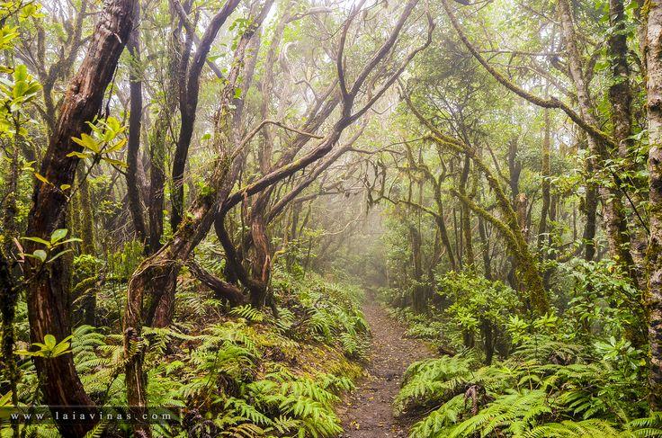 LA LAURISILVA. Es un tipo de bosque subtropical, que únicamente pervive en los archipiélagos de la Macaronesia (Canarias, Azores y Madeira). Su gran masa de hojas, siempre verde, favorece la condensación de las nieblas produciéndose una lluvia local al pie de cada árbol que se conoce como «precipitación o lluvia horizontal» que hace que el suelo de la Laurisilva esté siempre rezumante de humedad, cubierto por una gruesa capa de materia orgánica en la que crecen helechos, musgos y líquenes…