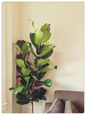 fiddle leaf fig care instructions