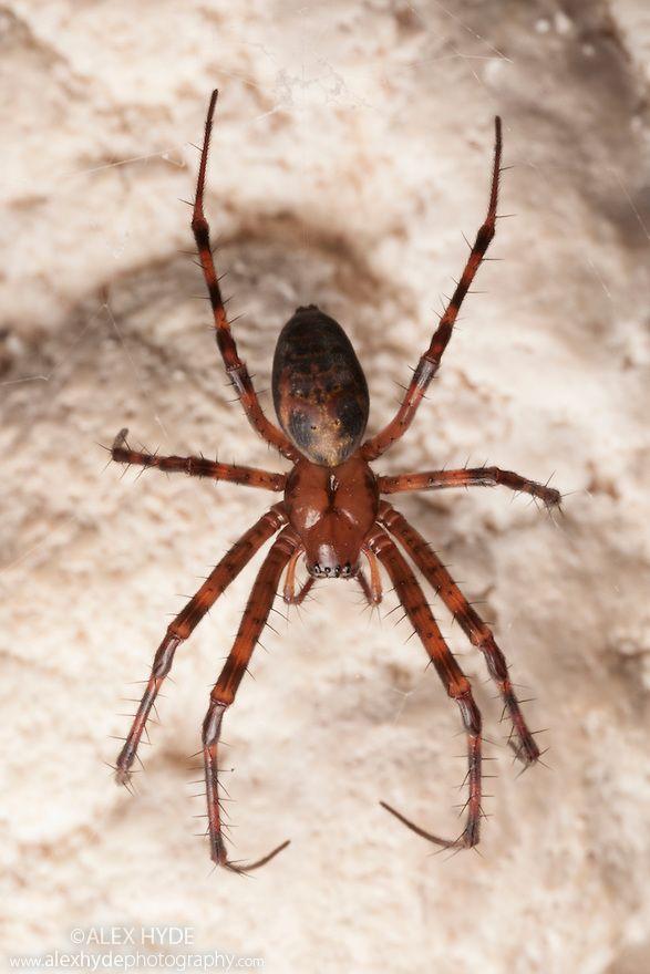 ˚European Cave Spider (Meta menardi) in a limestone cave - Plitvice Lakes National Park, Croatia