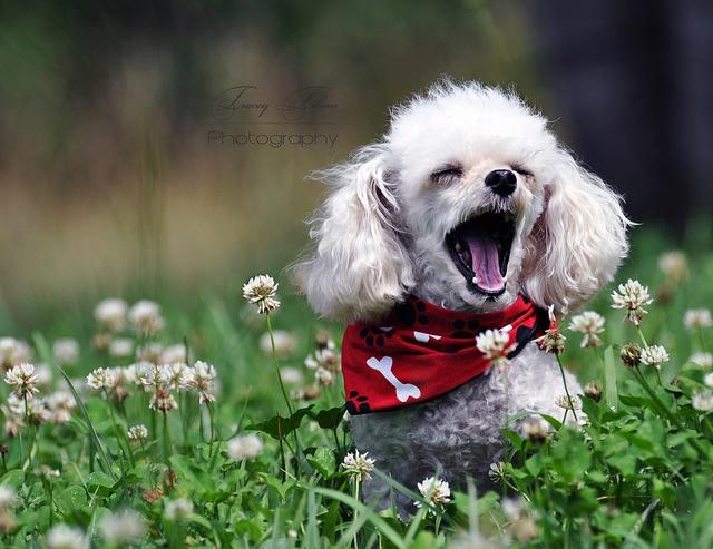 Resultado de imagen para poodle yawning