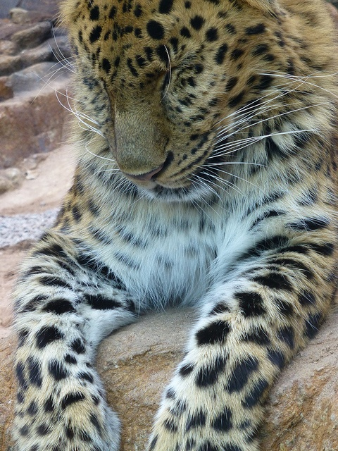 Male Amur Leopard, let's fight to protect this highly endangered species