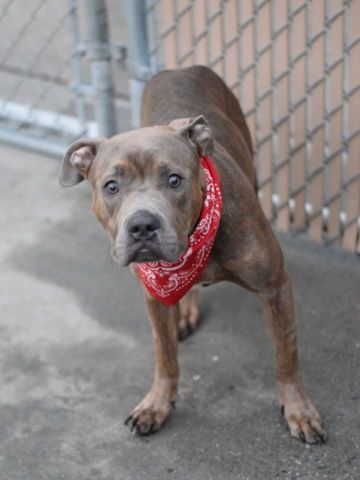 11/20/16 LISTED TO BE MURDERED TODAY!! Brooklyn Center My name is KYLEE. My Animal ID # is A1096638. I am a female br brindle am pit bull ter mix. The shelter thinks I am about 3 YEARS old. I came in the shelter as a STRAY on 11/12/2016 from NY 11223, owner surrender reason stated was STRAY.