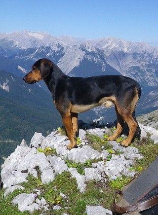 Tiroler Bracke
