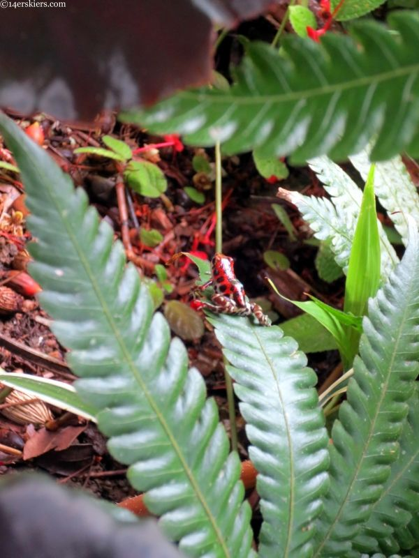 bastimentos red frog