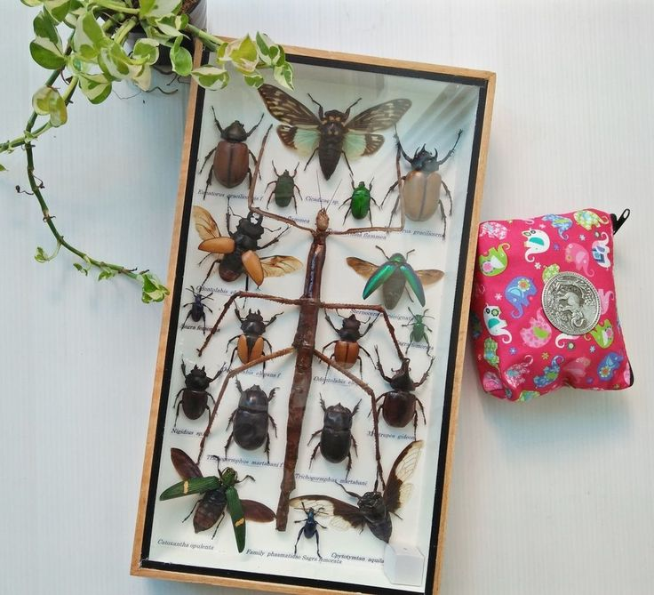 Real Rare Mix Walking Stick Bug Cicada Insect Taxidermy Display Wood Framed Box