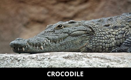 Crocodile Facts | Cool Kid Facts