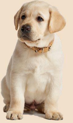 Golden Retriever Puppy Goldenretrieverpuppy Labradorretriever Baby Dogs Dogs Puppies