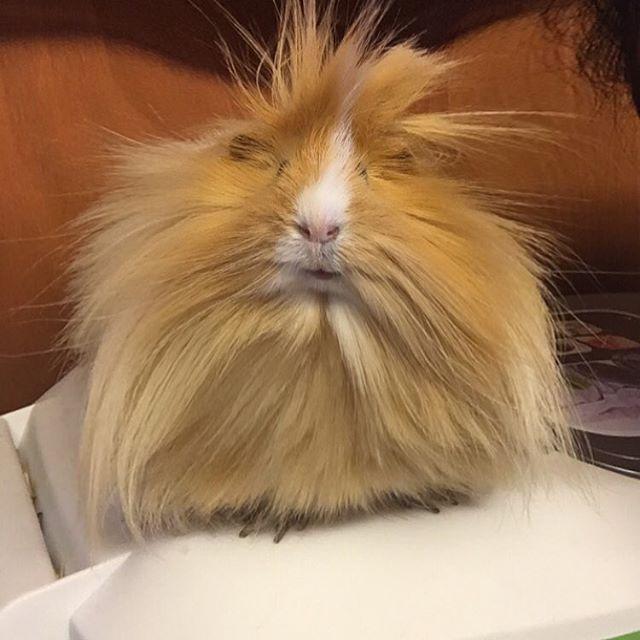 I've always wanted a Peruvian guinea pig ❤️