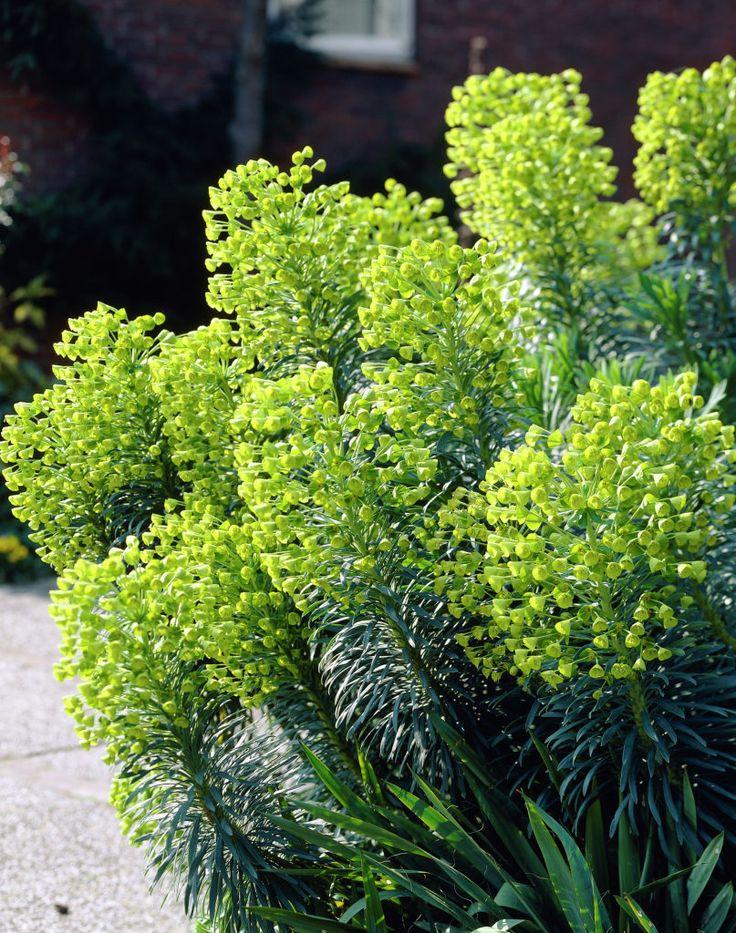 die besten 25 euphorbia pflanze ideen auf pinterest bleistift kaktus seltsame pflanzen und. Black Bedroom Furniture Sets. Home Design Ideas