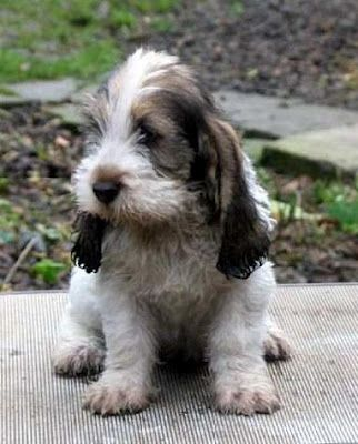 Petit Basset Griffon Vendeen Puppy- would love to own one of these one day! :)