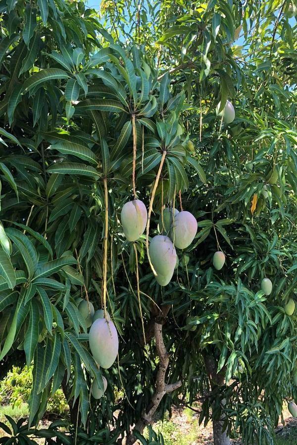 Citrus Sweet Flame Seedless Grapefruit Tree Excludes: CA, AZ, LA, TX