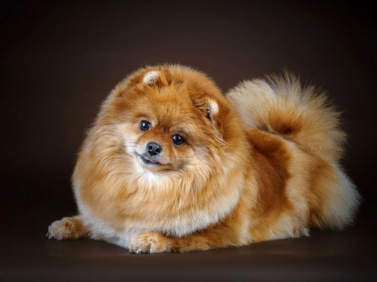 Собака породы померанский шпиц на редкость игрива, весела и преданна. Как и другие милые кошки и собаки, эти маленькие собачки не просто домашние любимцы, но и лучшие друзья детей, и даже неплохие охранники.