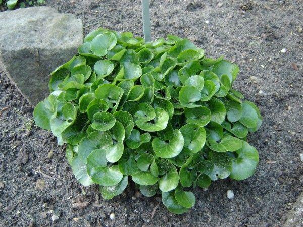 Rosliny Do Cienia Co Posadzic W Cienistym Miejscu W Ogrodzie Shade Garden Plants Succulents