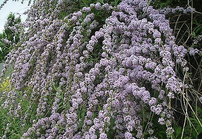 Buddleja alternifolia - Buddleia Weeping Butterfly Bush, Plant in 9cm Pot in Garden & Patio,Plants, Seeds & Bulbs,Plants & Seedlings | eBay