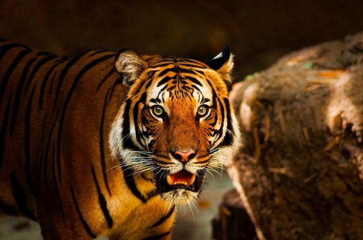 A tigris, mint erőállat