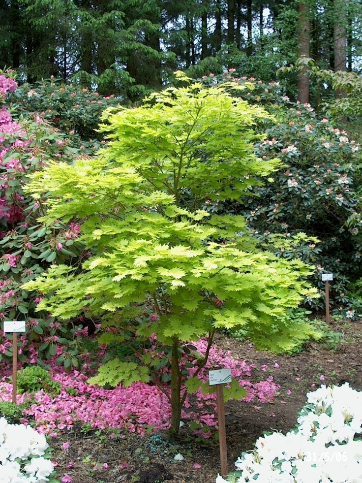 Acer shirasawanum aureum jardin cote cours pinterest for Garden trees for shade