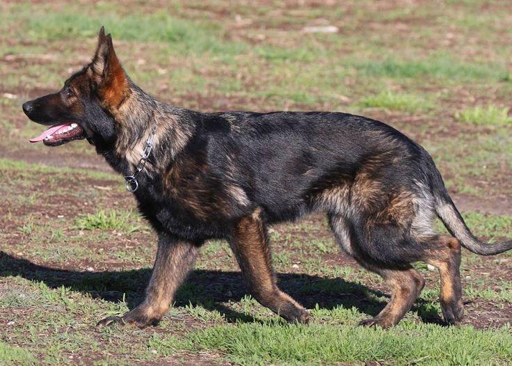 DDR German shepherd