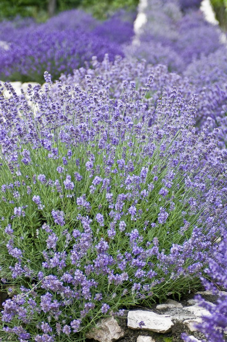 a small corner of our lavender fields at Catherine's Vineyard Cottages in Csákberény, Hungary