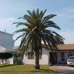 Very nice---Canary Island Date Palm