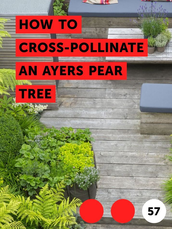 Learn How To Cross Pollinate An Ayers Pear Tree How To Guides
