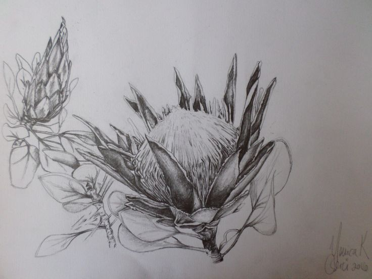 SOLD at The Plant Exhibition (16 - 25 September 2016), Kirstenbosch, Cape Town, South Africa. Original graphite sketch by Monica K Cserei Title: For God and Jesus' glory, the King Protea study  Size and medium: 35cm x 24.5cm, graphite of 300gsm Fabriano paper.