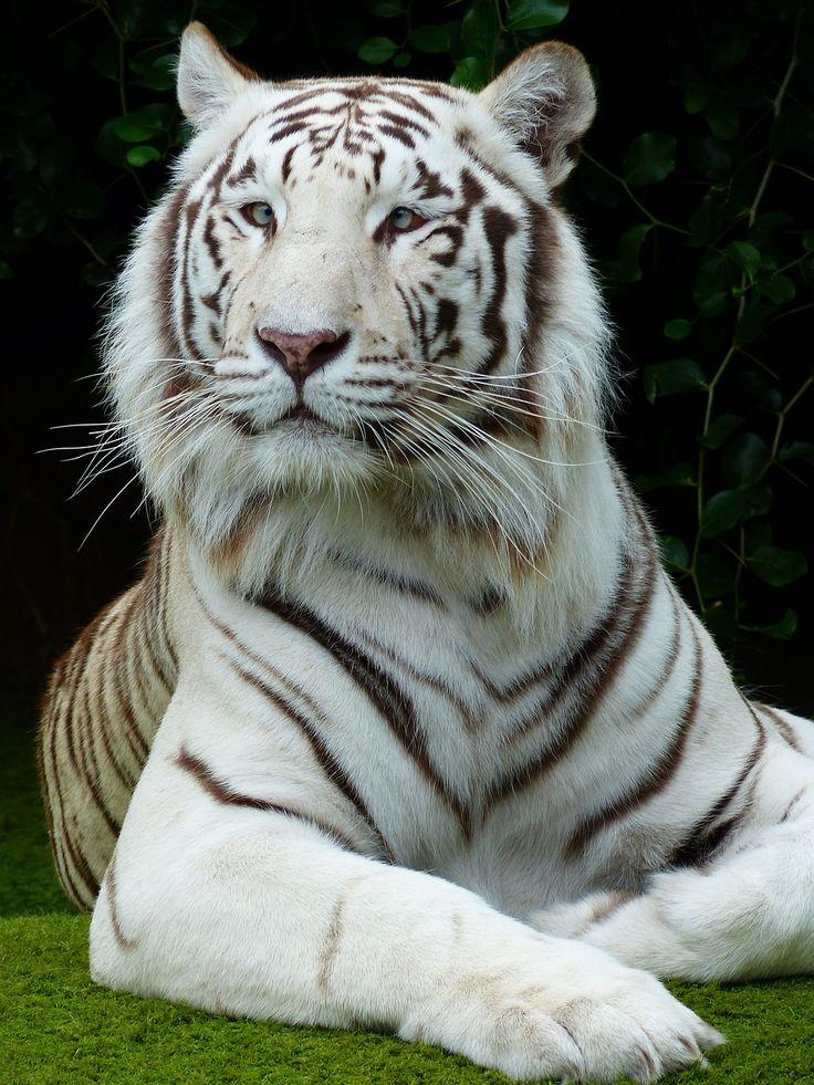 Белые тигры картинки