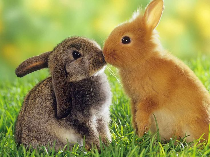 Love animals | Rabbits Wallpaper - Cute Rabbits Animal Wallpapers Gallery: Kissing Bunnies, Easter, Sweet, Adorable Animals, Rabbits, Pet, Cute Bunny, Cute Animals